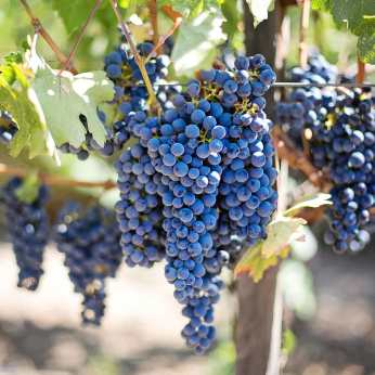 purple-grapes-vineyard-2